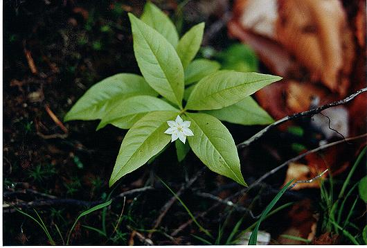 An image of the starflower